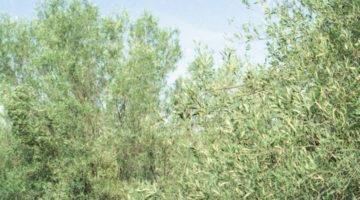 monte-alburchia-olio-biologico-sicilia-21
