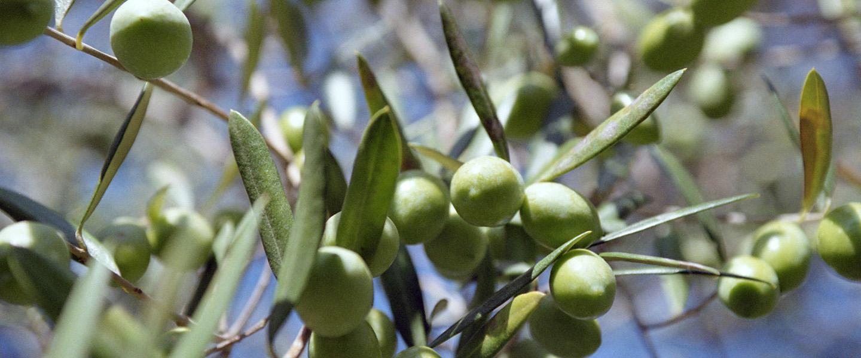 monte-alburchia-olio-biologico-sicilia-biancolilla